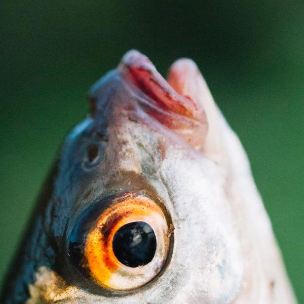 Cabeza de Pescado